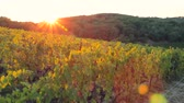 toscano : Beautiful panoramic view of the sunset over the vineyard on the hill Vídeos