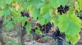 vegetal : Ripe grapes hanging on the vine branches Vídeos