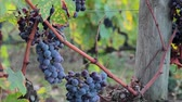 vegetal : Close-up of ripe juicy grapes for red wine on the vine