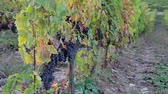 toscano : Wine grapes ripening on the branches long rows of vines