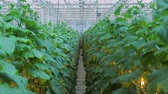 verdejante : Green plants of cucumbers grow in agro-industrial complex.