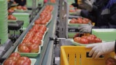 przetwory : Workers on line of packing fresh tomatoes in trays line inside factory.