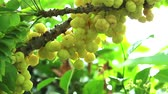 groselha : star gooseberry vegetable fruit useful can use both leaf and root treatment Stock Footage