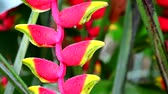 false color : Heliconia may call wild plantain or bird of paradise is multi color bracts