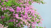 embellishment : Lagerstroemia speciosa pink white flower and heavy wind in rain season storm sky