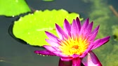 waterlily : reflection of lotus pink flower booming in pond and rain fall on leaves