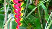 false color : Heliconia Heliconia may call wild plantain or bird of paradise is multi color bracts4