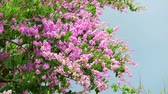 приукрашивание : Lagerstroemia speciosa pink white flower and heavy wind in rain season storm sky