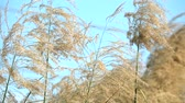 tilted : slow motion golden flower grass field and clear blue sky background Stock Footage