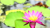 flor de loto : lotus has pink color of petals blooming in pond and bee flying to flower