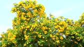 trumpet : Tabebuia aurea blooming in the garden blue sky background
