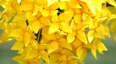 западный : Yellow Ixora flowers are blooming in the garden. With rain water on the petals