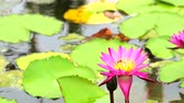 flor de loto : lotus has pink color of petals blooming in pond and bee fly to flower
