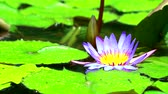flor de loto : reflection of lotus purple flower boom in pond and rain fall on leaves Archivo de Video