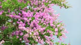 приукрашивание : slow motion Lagerstroemia speciosa pink white flower and heavy wind in rain season storm sky Стоковые видеозаписи