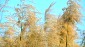 tilted : Slow motion Golden flower grass field in afternoon clear blue sky background