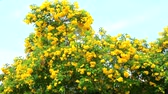 trumpet : slow motion of Tabebuia aurea bloom in garden blue sky background Stock Footage