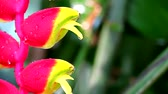 falešný : Heliconia may call wild plantain or bird of paradise is multi color bracts1 Dostupné videozáznamy
