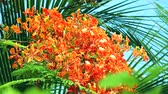 suíça : Red Caesalpinia pulcherrima flowers are blooming and palm leaves background Stock Footage