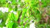 besouro : Long Horned Borer Beetle is eating leaves to breeding during rainy season Vídeos
