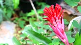 ananas : Bromeliad red color flower bloom in garden