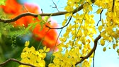 бутик : Cassia fistula flowers are blooming during rainy season colorful background