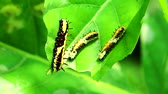 mariposa : Worms are eating leaves to accumulate energy during the body of a butterfly