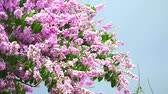приукрашивание : Lagerstroemia speciosa pink white flower bloom in rain season dark sky