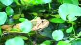 жаба : Frogs live away from the sun in water and are active at night Стоковые видеозаписи