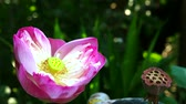 waterlily : pink lotus flower blooming in garden and dry branch lotus