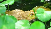 жаба : Frog live away from the sun in shade of trees and relax in water1