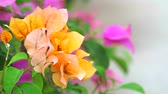 trn : Bougainvillea orange colors are blooming in the garden in summer Dostupné videozáznamy