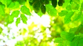 dramatic : green leaves blur colorful of  sunlight and tree in garden background