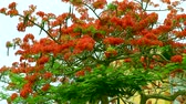 tavuskuşu : red flame tree flower blooming green leaves in the garden1 Stok Video