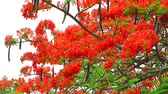 páva : red flame tree flower blooming in the garden Stock mozgókép