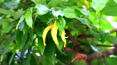 香 : Chinese Desmos is a creeper With yellow flowers giving a very fragrant aroma1