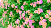pink yellow lantana camara flower in garden blooming and dancing by wind Vídeos