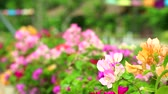Bougainvillea Multi colors are blooming in the garden blur background