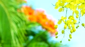 Cassia fistula flowers are blooming blue sky and red flower background
