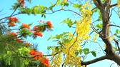 Cassia fistula flowers are blooming during rainy season pan to left