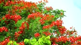 Flame Tree or Royal Poinciana in public park moving by soft wind1