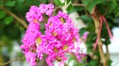 Queen flower or Lagerstroemia speciosa have pink and light color blooming on tree in the garden