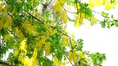 Golden shower tree has yellow bouquet flowers blooming on tree in park Стоковые видеозаписи