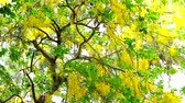 Golden shower tree has yellow bouquet flowers blooming on tree in the garden