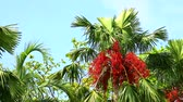 medio oriente : red palm seed on tree and other tree in the garden moving by wind