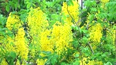 Golden shower tree has yellow bouquet flowers blooming on tree moving by wind in spring Стоковые видеозаписи