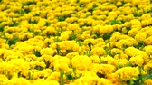 asteca : Mexican marigold yellow flowers panning to the field and meadow in summer