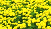 aztek : Mexican marigold yellow flowers panning to the field in summer
