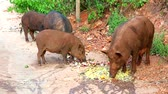 boar : Boar eating food and fruits on the side of the road1
