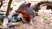 piglets : little Boar eating food and fruits on the side of the road